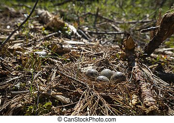 sandpiper nest in the forest on ground