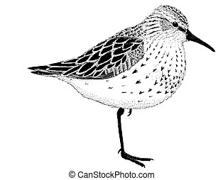 sandpiper occidental