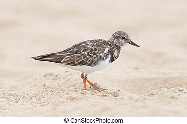 Sandpiper on the beach at Cape Cross