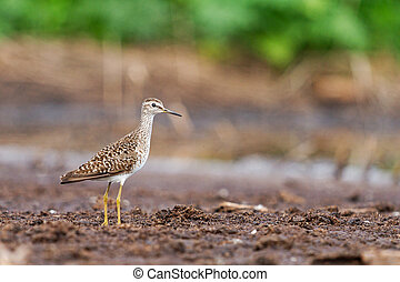 sandpiper stands on the ground in a swamp