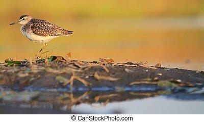 sandpiper with broken foot basking in the sun,bird,wild...