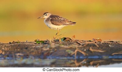 sandpiper with injured leg standing near water , wildlife in...
