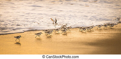 Close up of sandpipers along the shoreline of the beach as wave comes in