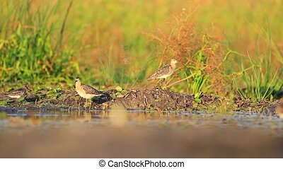 sandpipers at sunset on the lake, wildlife, animals and...