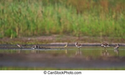 sandpipers bathe in water on a hot day