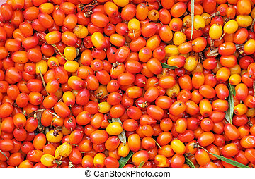 Sandthorn view - New-gathered berries of seabuckthorn as...