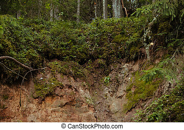 Sandy bank of the Gauja river in a dense coniferous forest -...