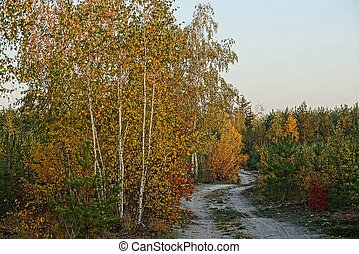 Sandy road along the yellow birch and vegetation in the forest