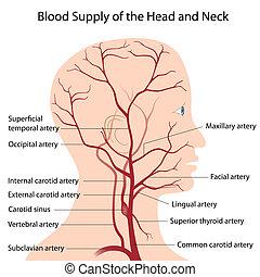 sangre, suministro, de, la cabeza, y, cuello