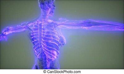 sanguine, corps humain, vaisseaux