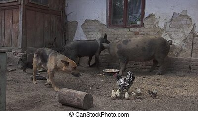 Sanitation Dirty Pigs Eating German Shepherd Puppy Village...