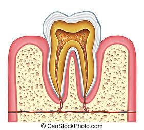 sano, anatomía, humano, diente