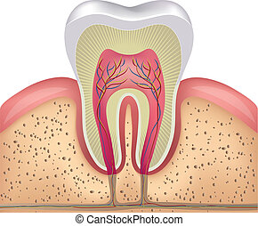 sano, diente blanco, sección transversal