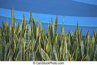 Sanservieria trifasciata plant growing infront of a blue ...
