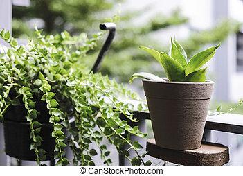 Sansevieria trifasciata or Snake plant and Million hearts at...