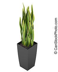Sansevieria trifasciata, the snake plant - Sansevieria...