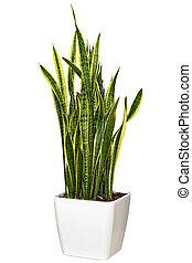 Sansevieriya houseplant in a large white pot - Sansevieriya...