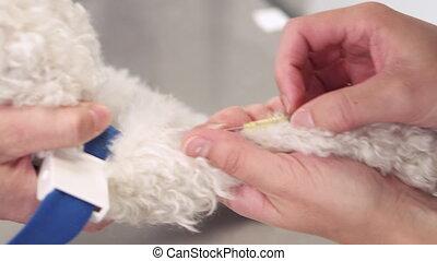 santé, clinic., périphérique, soin, placer, par, catheter., chouchou, intraveineux, chien, vétérinaire, ligne