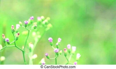 santé, dysentery, feuilles, fait, emilia, thé, avantages, sonchifolia, traitement, utilisé