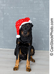 santa claus french dog sittting on the floor