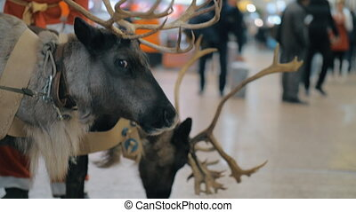 Santa Claus with reindeer at the airport