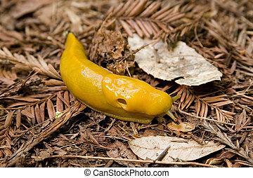 Santa Cruz Mountains Banana Slug - A Pacific Banana Slug...