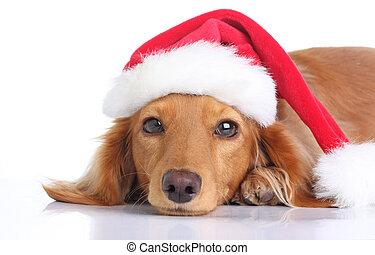 Santa dog - Dachshund dog with Santa hat.