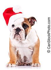 santa english bulldog puppy sitting on a white background