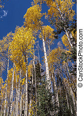 Looking up in an aspen grove in Santa Fe National Forest in autumn.