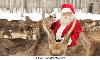 Santa has herd - Santa Claus feeding deer on a deer farm