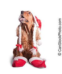 Santa spaniel - english cocker spaniel wearing a santa hat.