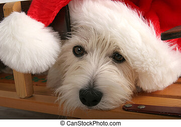 Santa Westie - Closeup of a West Highland Terrier with a red...