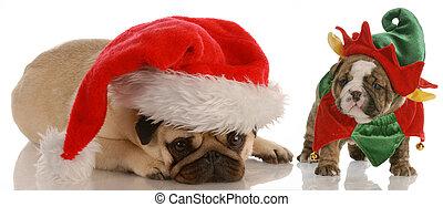 santas, helfer, -, mops, angezogene , als, santa, und, englische bulldogge, junger hund, angezogene , als, weihnachtshelfer