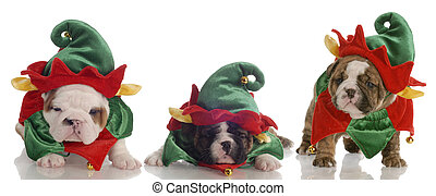 santa\'s helpers - three english bulldog puppies dressed up as elves