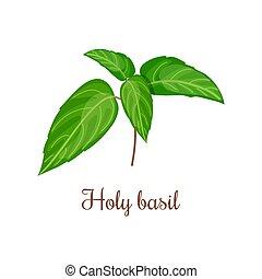 santissimo, (ocimum, folhas, ilustração, caule, vetorial, verde, tulasi., manjericão, ou, tenuiflorum)