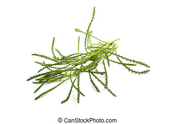 Santolina viridis ( Olive herb ) isolated on white