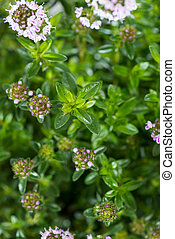 santoreggia, pianta, inverno