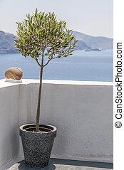 Santorini Olive Tree