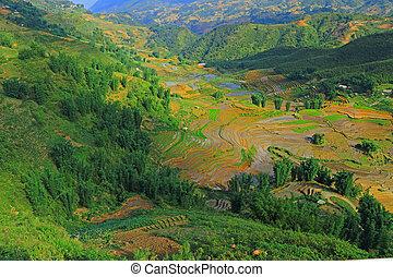 sapa, terrasses, vietnam, riz