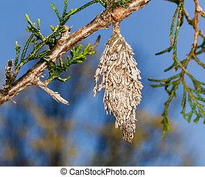 sapin, bagworm, branche arbre, pin
