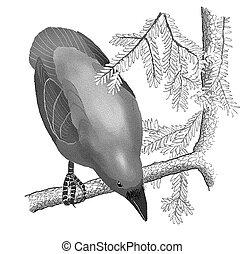 sapin, commun, douglas, corbeau