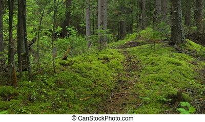 sapin, forêt, par, en mouvement