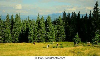sapin, montagnes, forêt, fond, vaches, pâturage, pâturage