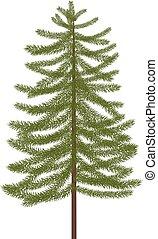 sapin, réaliste, arbre., illustration, vecteur