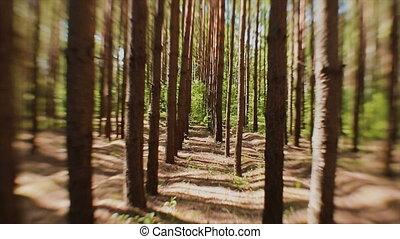 sapin, rayons, faire, arbres, leur, troncs, par, forêt, manière, sun's