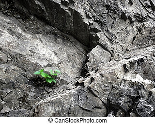 Green sapling entrenches amongst stones