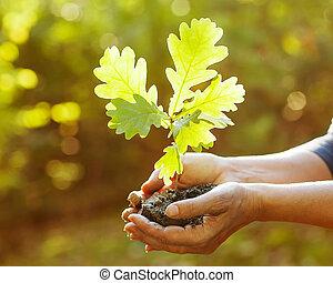 sapling, feuilles, chêne, rayons, sunlight., hands.