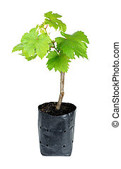 sapling grape isolated on the white background.