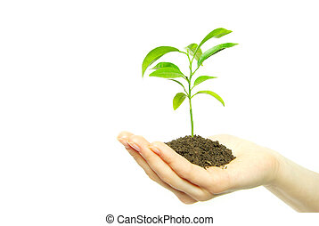 sapling in soil - Hands holding sapling in soil on white...
