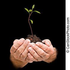 sapling, natuur, symbool, avocado, bescherming, handen